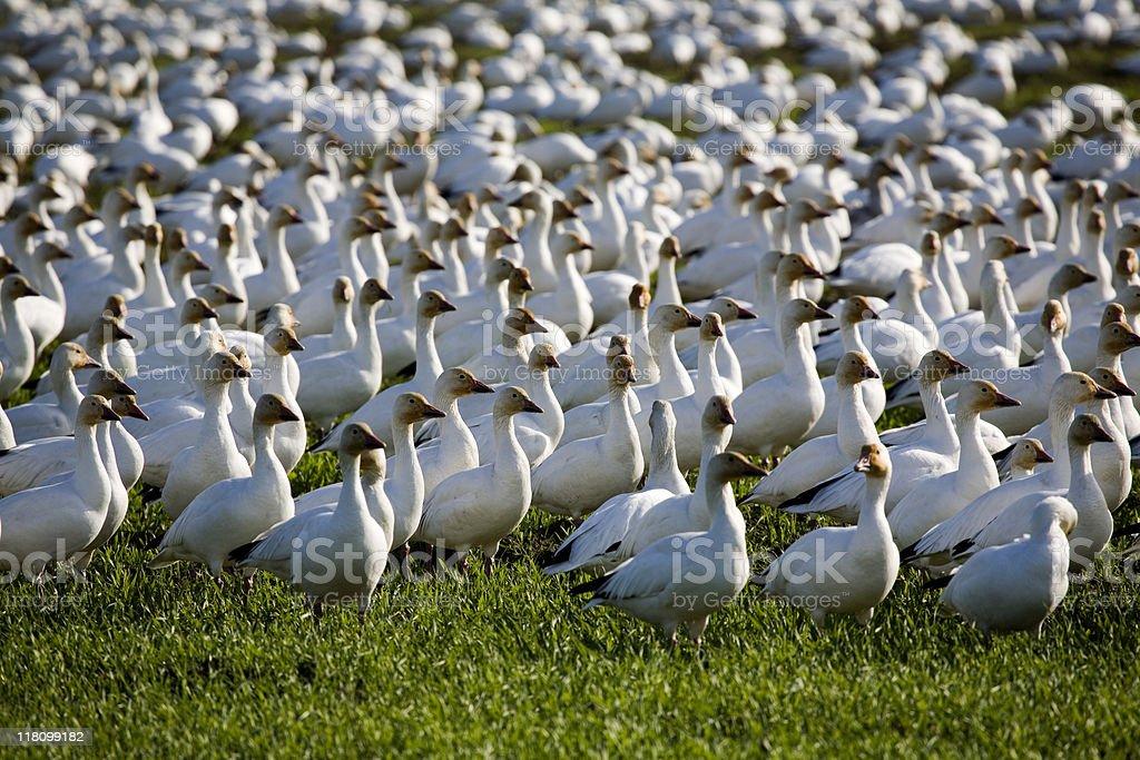 Flocks of snow geese stock photo