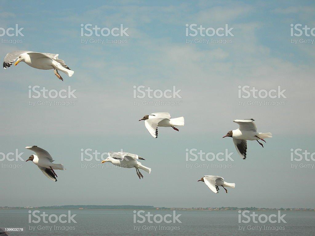 flog de mar gulls foto de stock libre de derechos