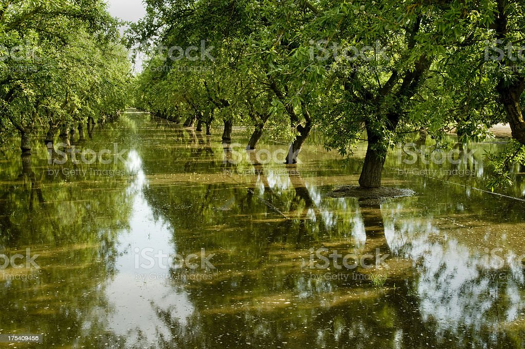 Flood Irrigation, Almond Orchard, Central Valley, California stock photo