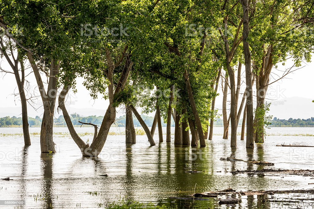 Flood waters overtake a forest of trees stock photo