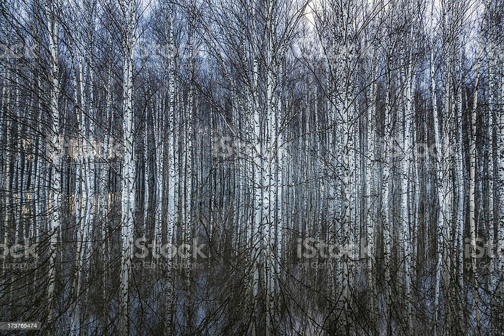 Flooded birch forest royalty-free stock photo