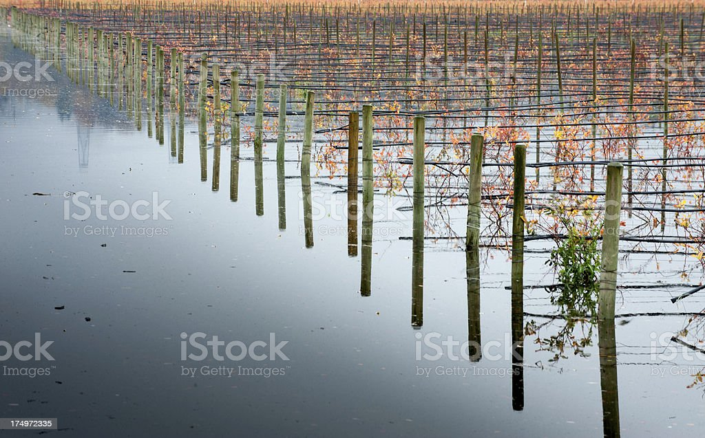 Flooded Blueberry Field stock photo