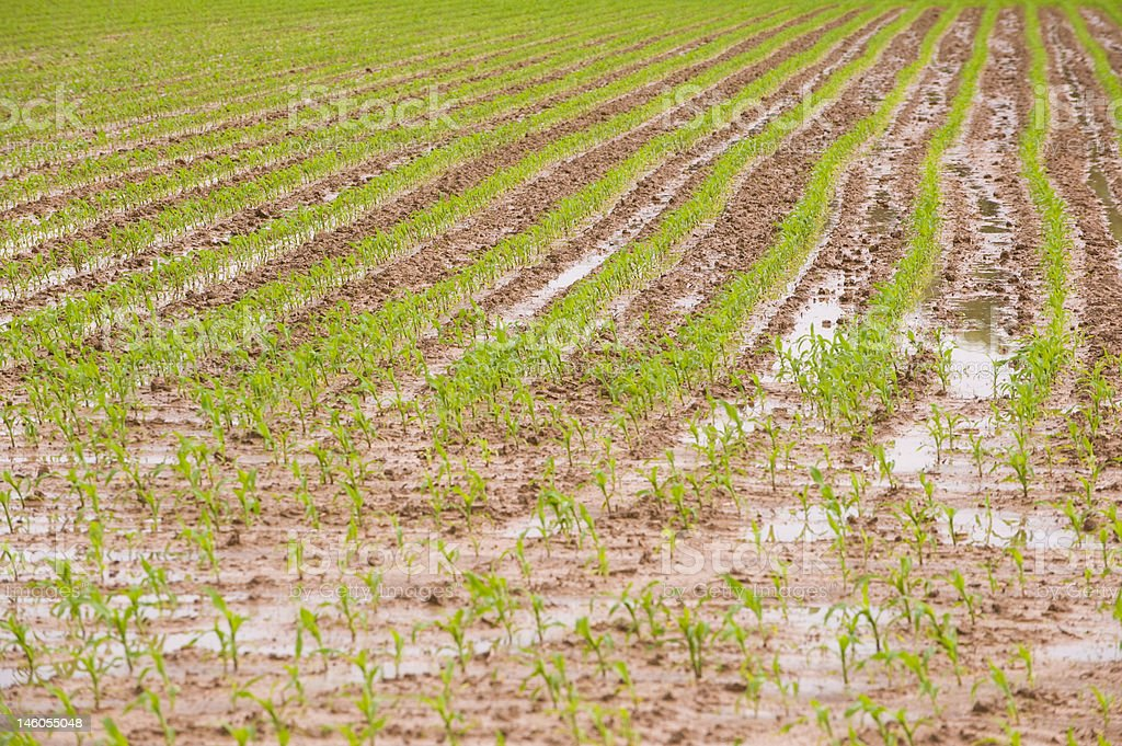 Flooded corn field stock photo