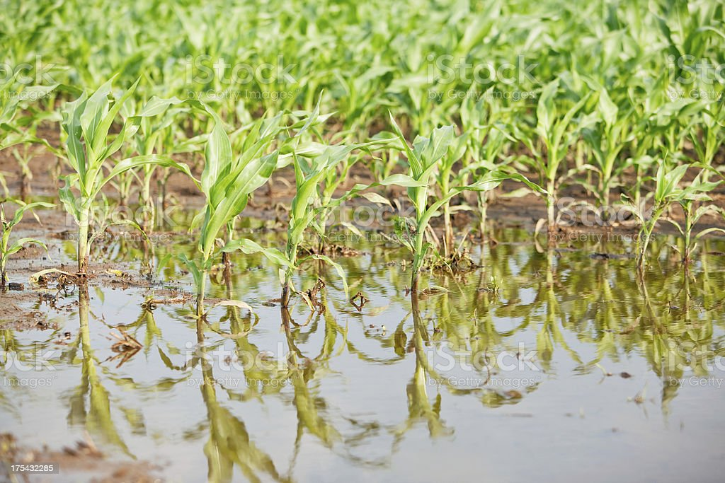 Flooded Corn Field with Spring Crop stock photo