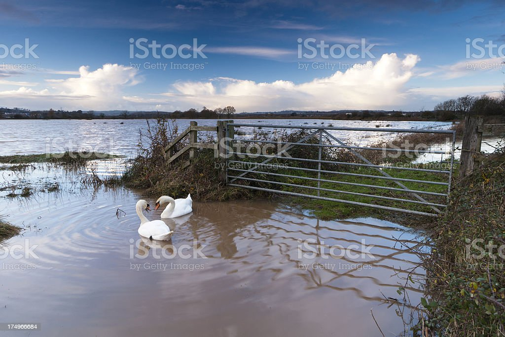 Flooded fields at Exminster in south Devon and two swans royalty-free stock photo