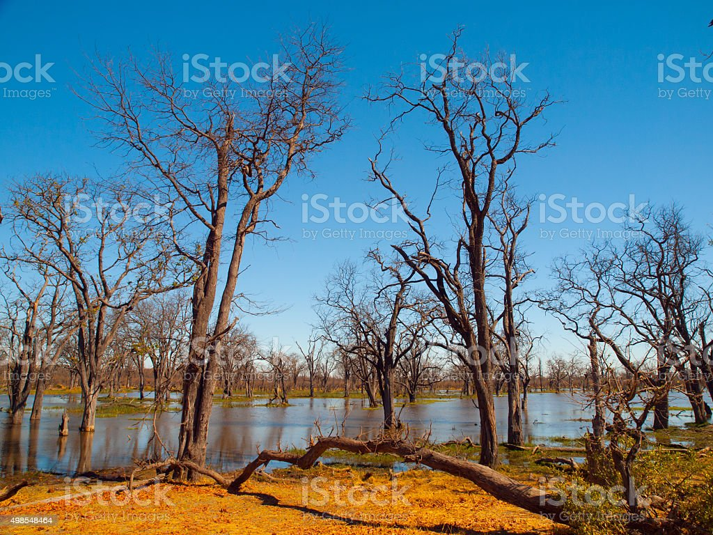 Flooded forest in Okavango delta stock photo