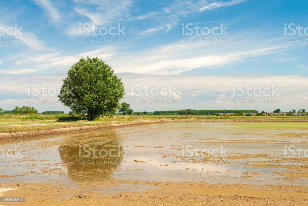 Flooded rice field in Lomellina (north of Italy) stock photo