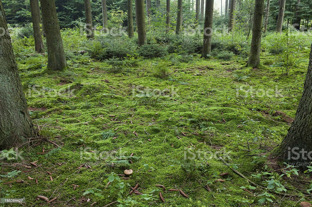 Floor in a coniferous forest of spruce (Picea) stock photo