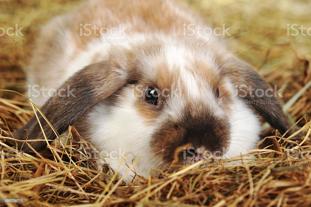 A floppy eared rabbit lying in the hay royalty-free stock photo