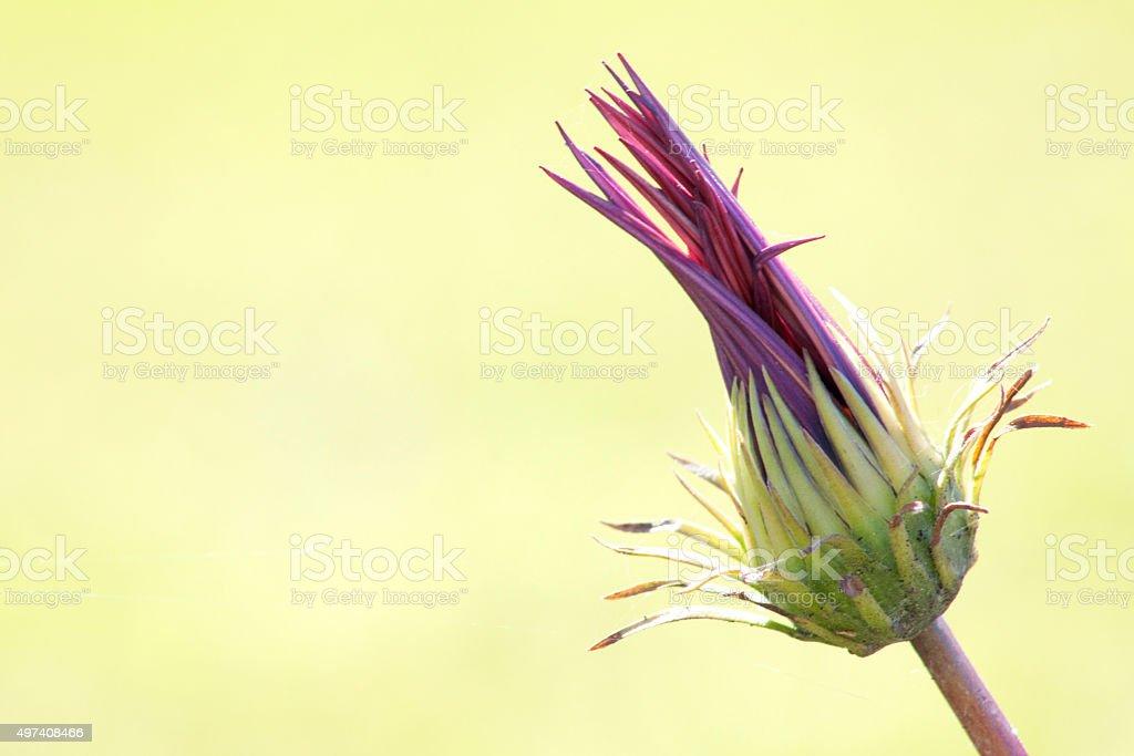 Flor con petalos cerrados stock photo