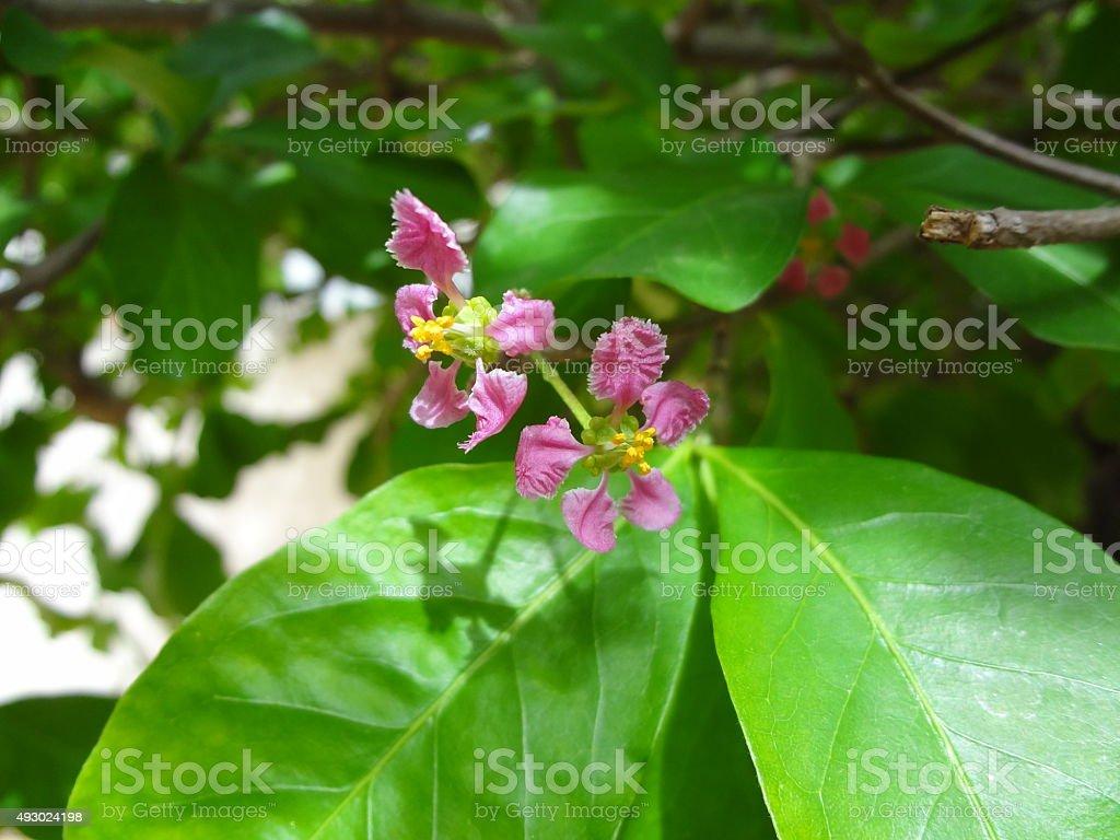 Flor da Acerola stock photo
