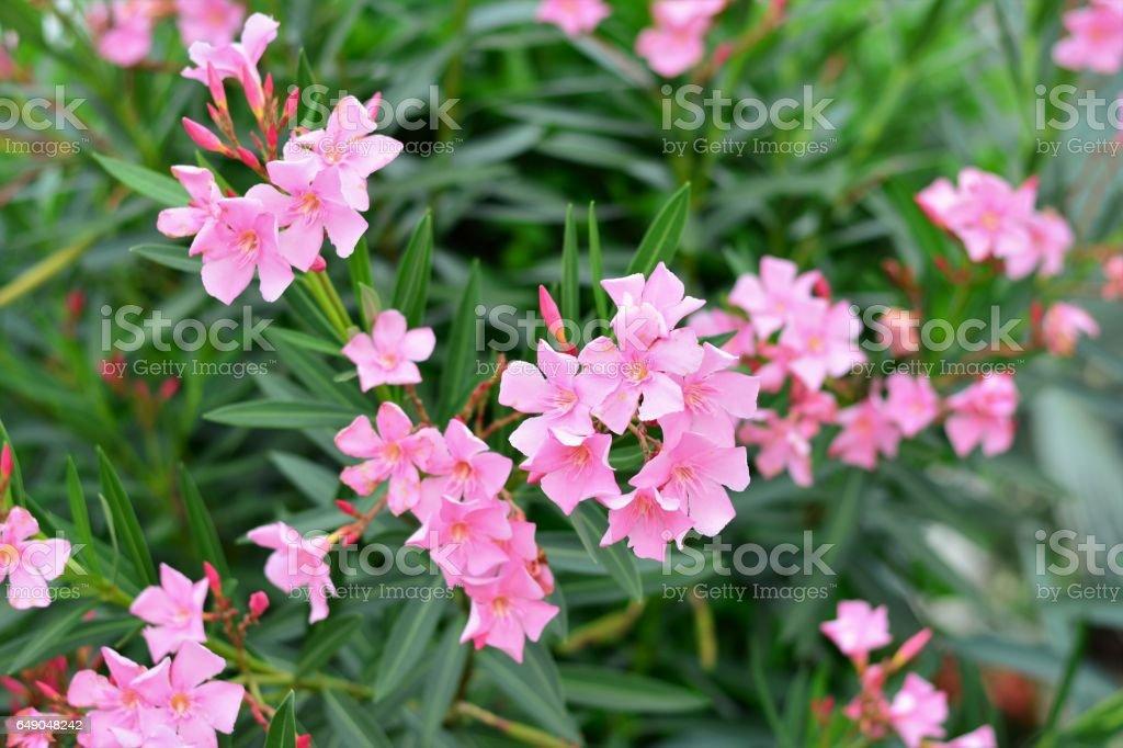 Flor de Nerium Oleander stock photo