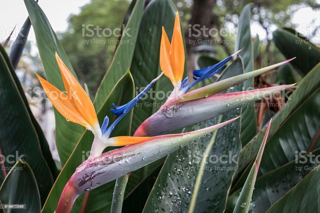 Flor de strelizia en Madeira stock photo