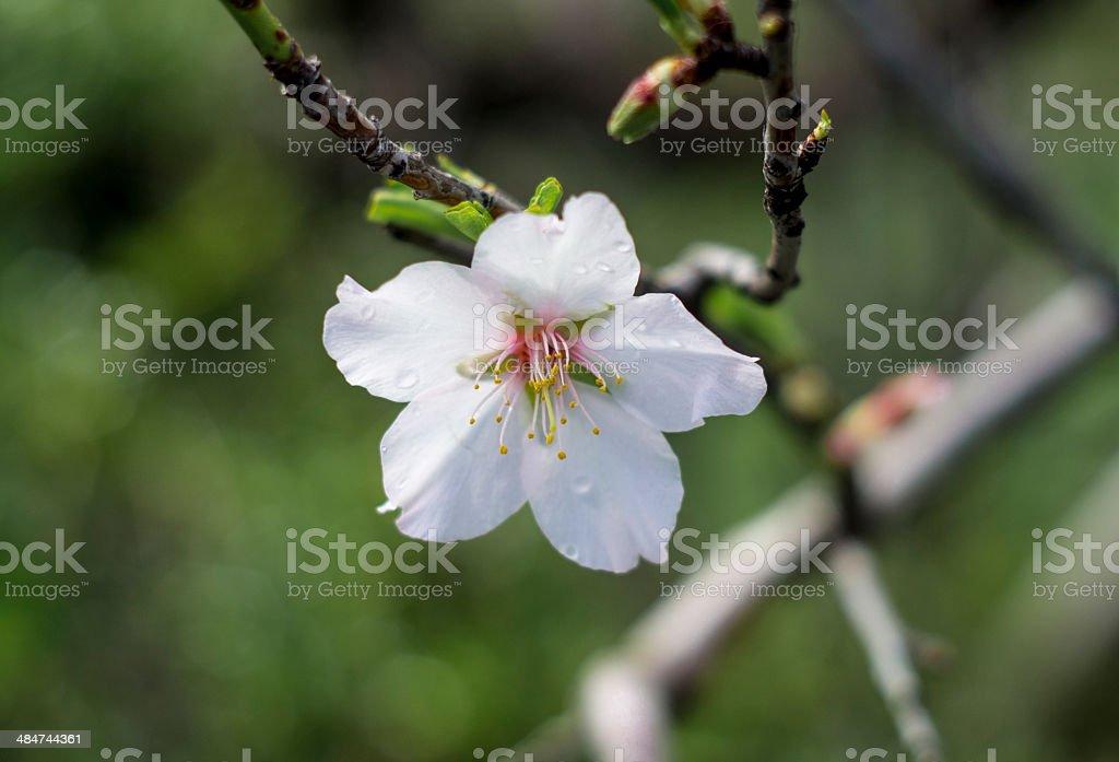 Flor del Almendro stock photo