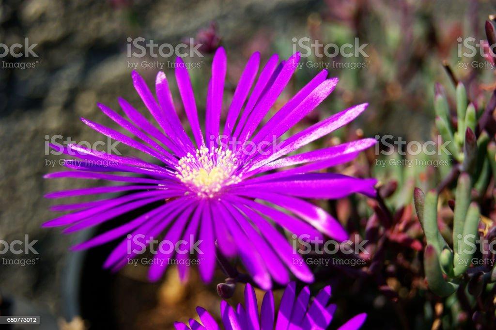Flor morada stock photo