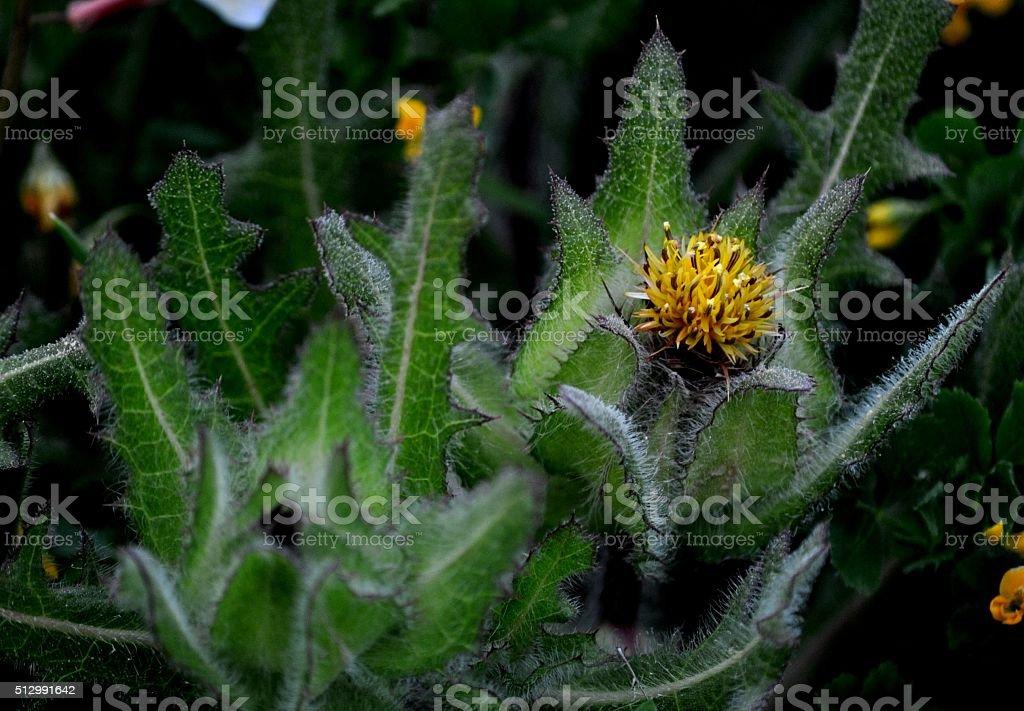 flor silvestre pubescente stock photo