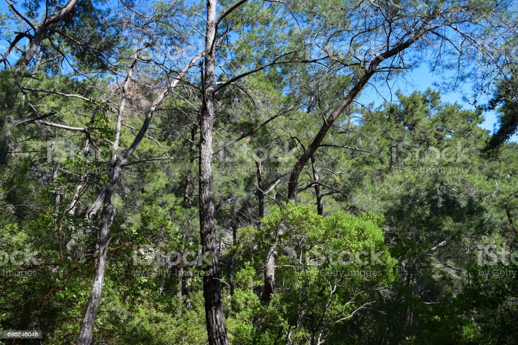Flora of Turkey. Kemer region nature. Calis Tepe (mountain) trail. Endemic pine forest of Asia Minor stock photo