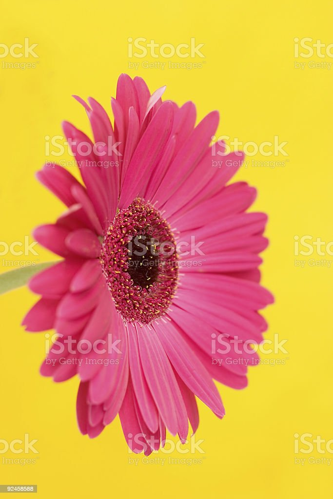 Flora: Pink on yellow. royalty-free stock photo