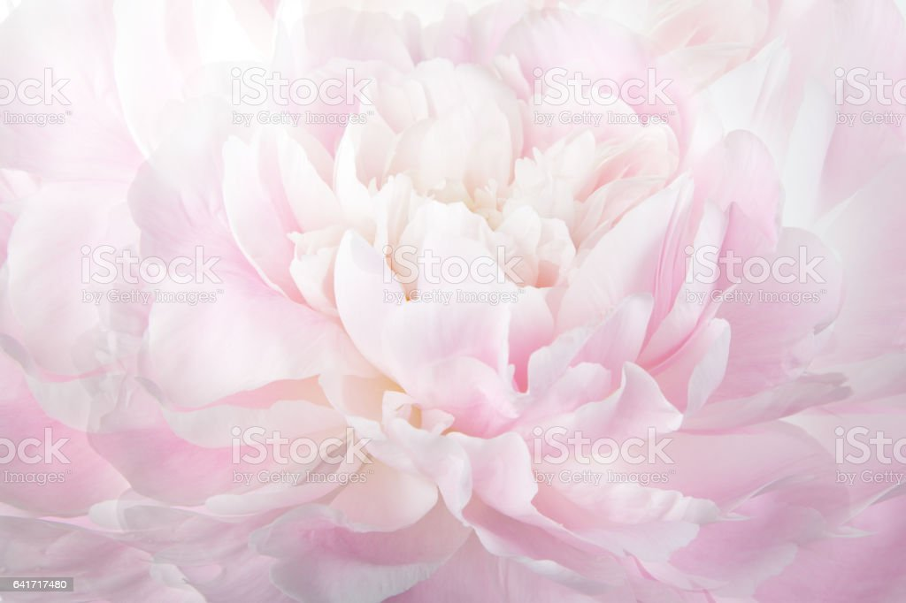 Floral abstract background, macro photography gentle pink peony stock photo