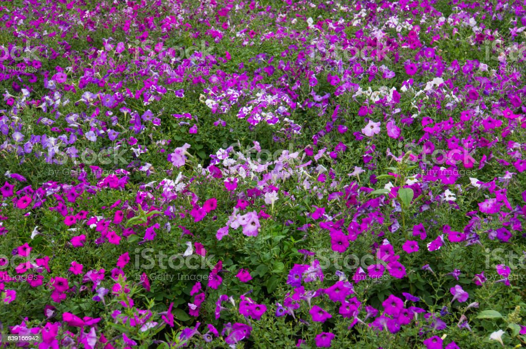 Floral background. Delicate white with purple petals stock photo