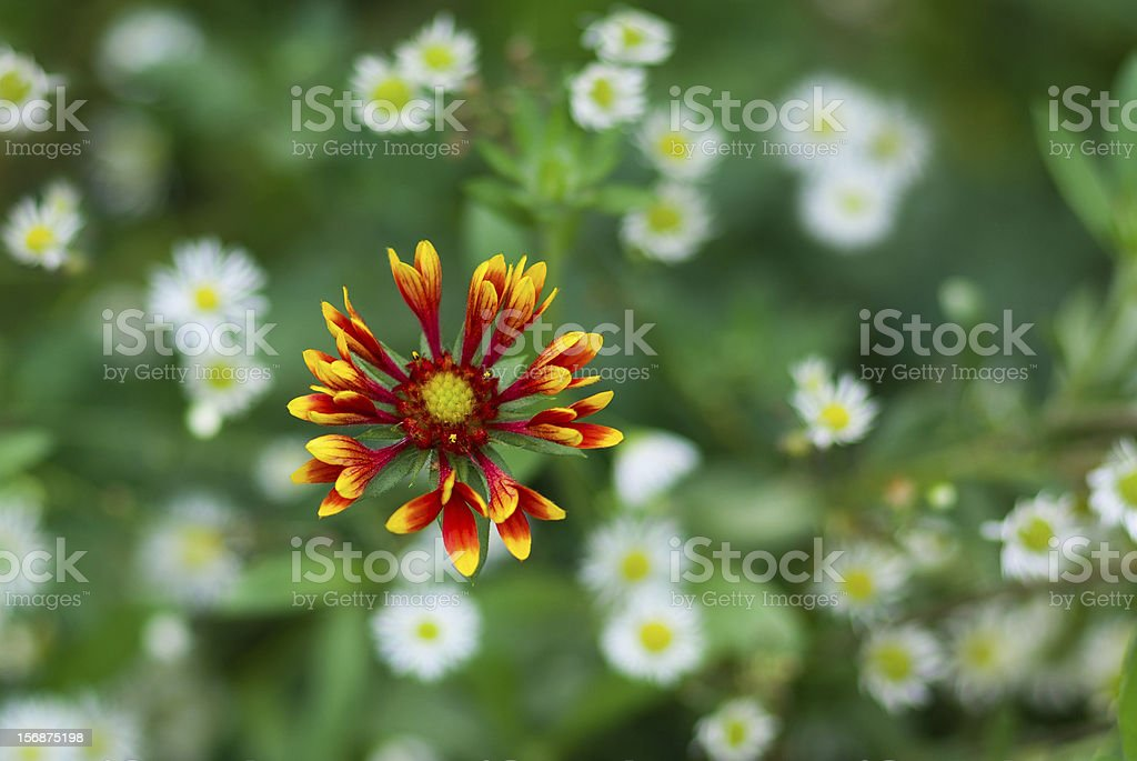 Floral background - Indian blanket flower royalty-free stock photo