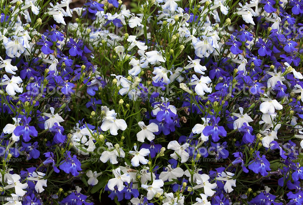 Floral background of blue and white flowers lobelia. stock photo