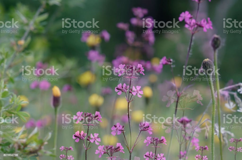 Floral  background. Violet wildflowers on a  bokeh background. Close-up.  Soft focus    Nature. stock photo