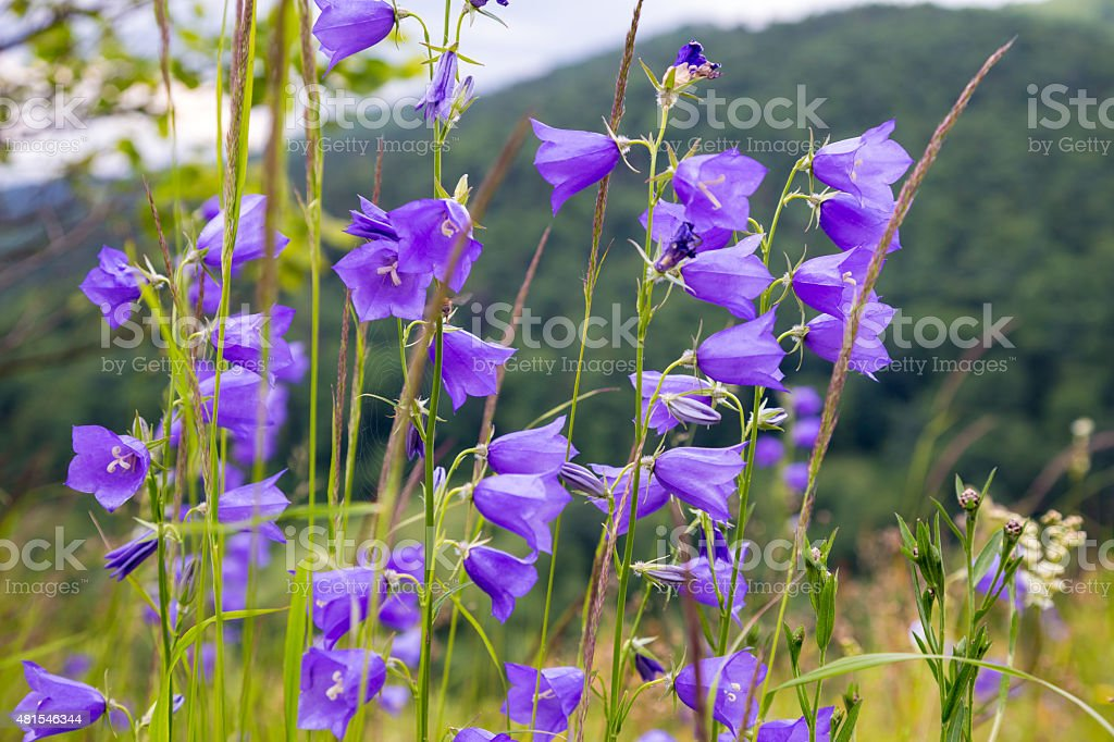 floral background with bluebells stock photo