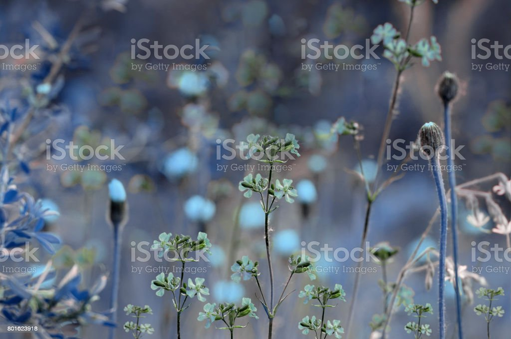Floral blue background. Wildflowers on a  bokeh background. Close-up.  Soft focus    Nature. stock photo