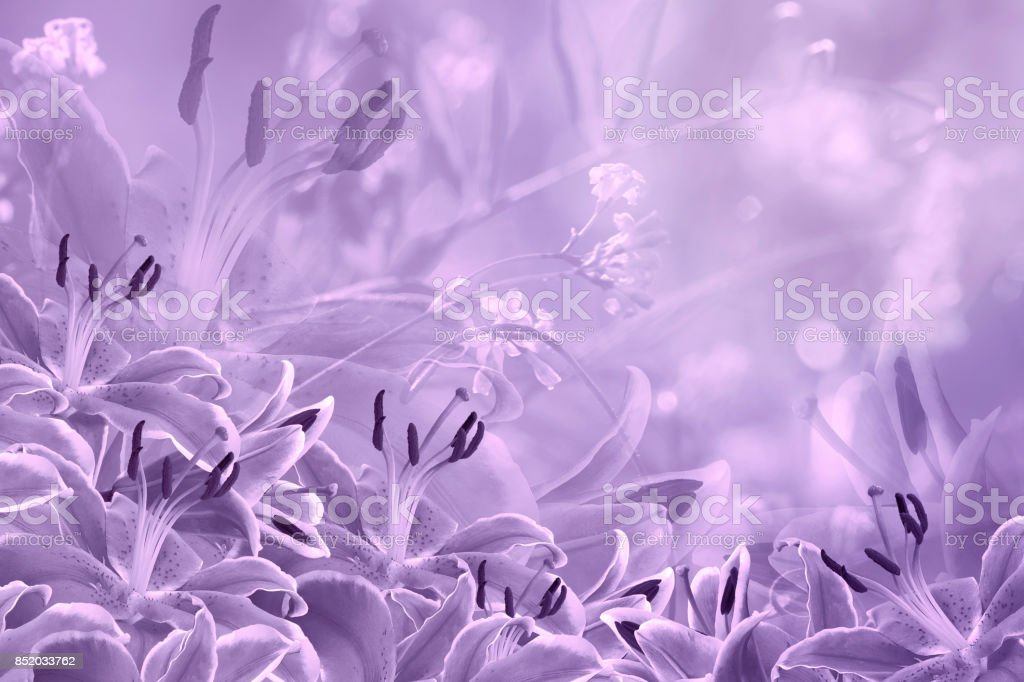 Floral  light violet beautiful background.  Flower composition  of  purple  flowers Lilies.  Nature. stock photo