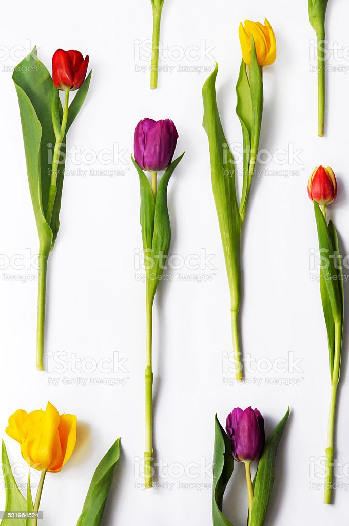 Floral pattern made of real multicoloured tulips on white background. stock photo