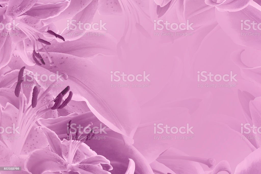 Floral  pink beautiful background.  Flower composition  of   flowers Lilies.  Nature. stock photo