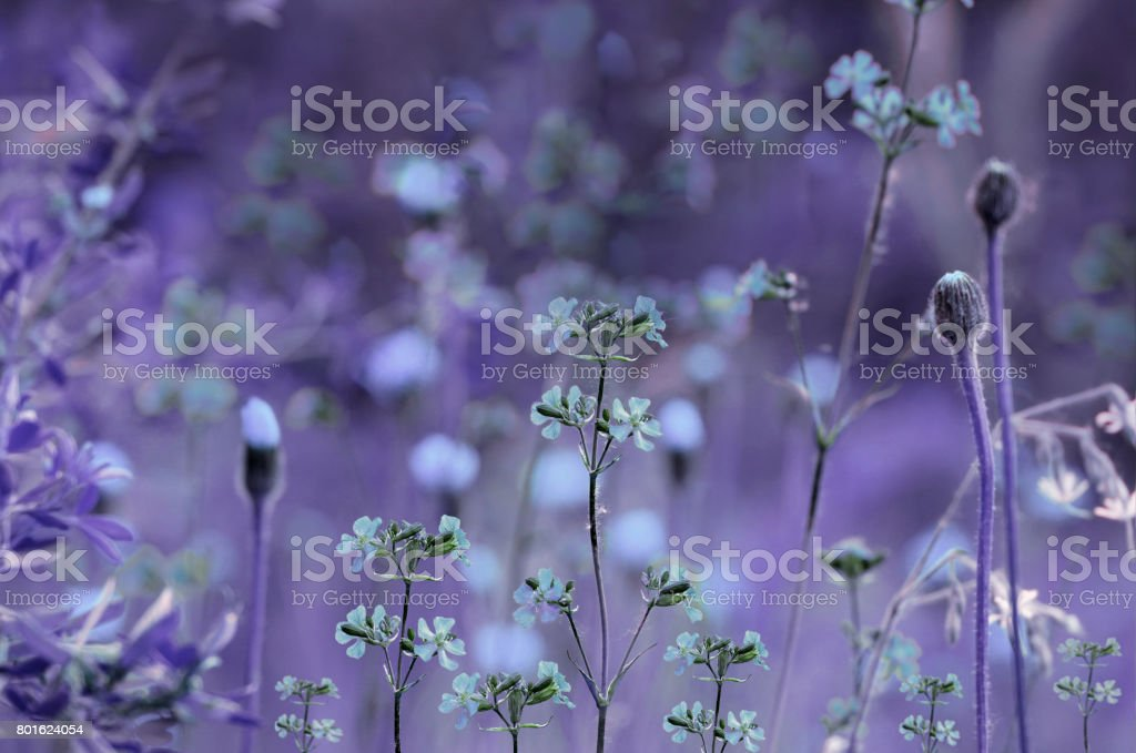Floral  purple-blue background. Violet wildflowers on a  bokeh background. Close-up.  Soft focus    Nature. stock photo