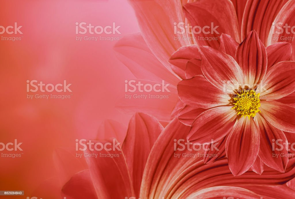 Floral  red beautiful background.  Flower composition  of   flowers daisy.  Place for text.  Nature. stock photo