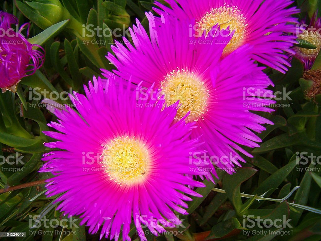 Flores de cactu royalty-free stock photo