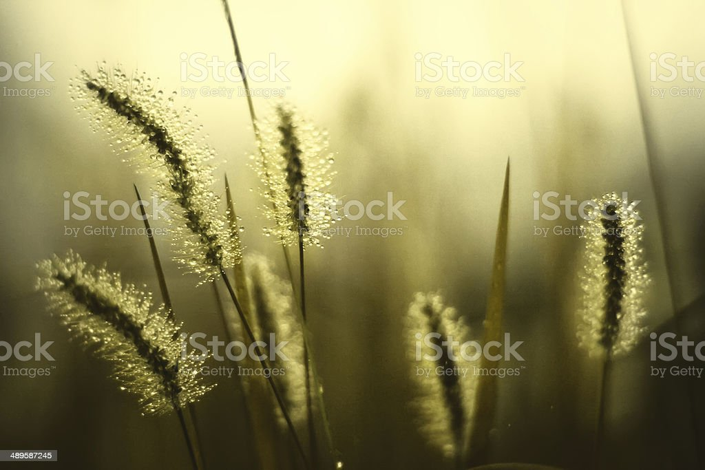 Flores de orvalho foto de stock libre de derechos