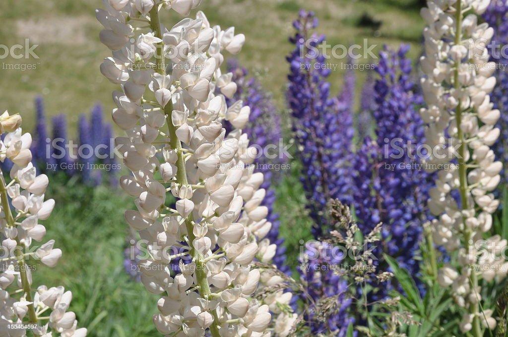 Flores de Patagonia royalty-free stock photo