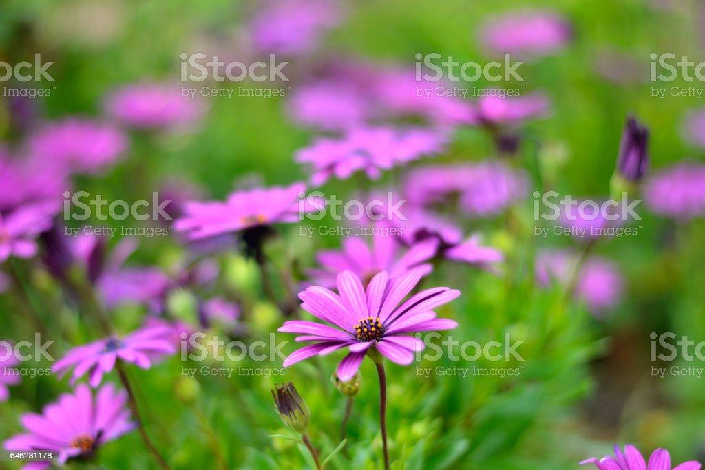 flores moradas stock photo