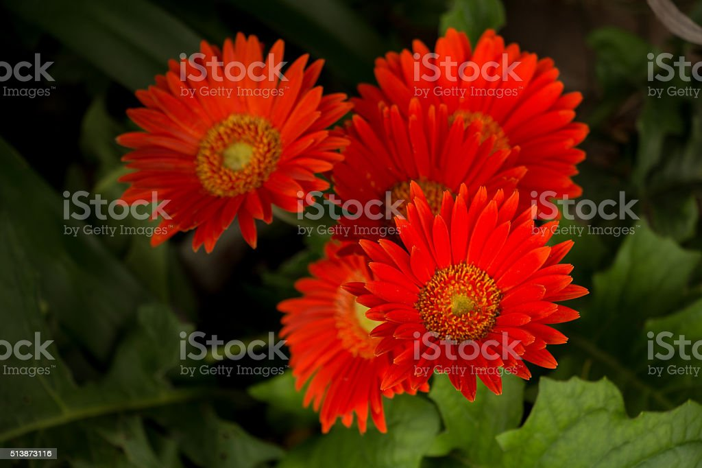 flores rojas stock photo
