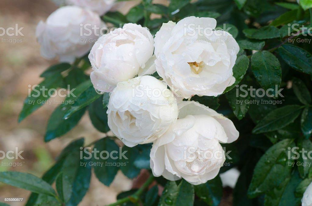 floribundas rose stock photo