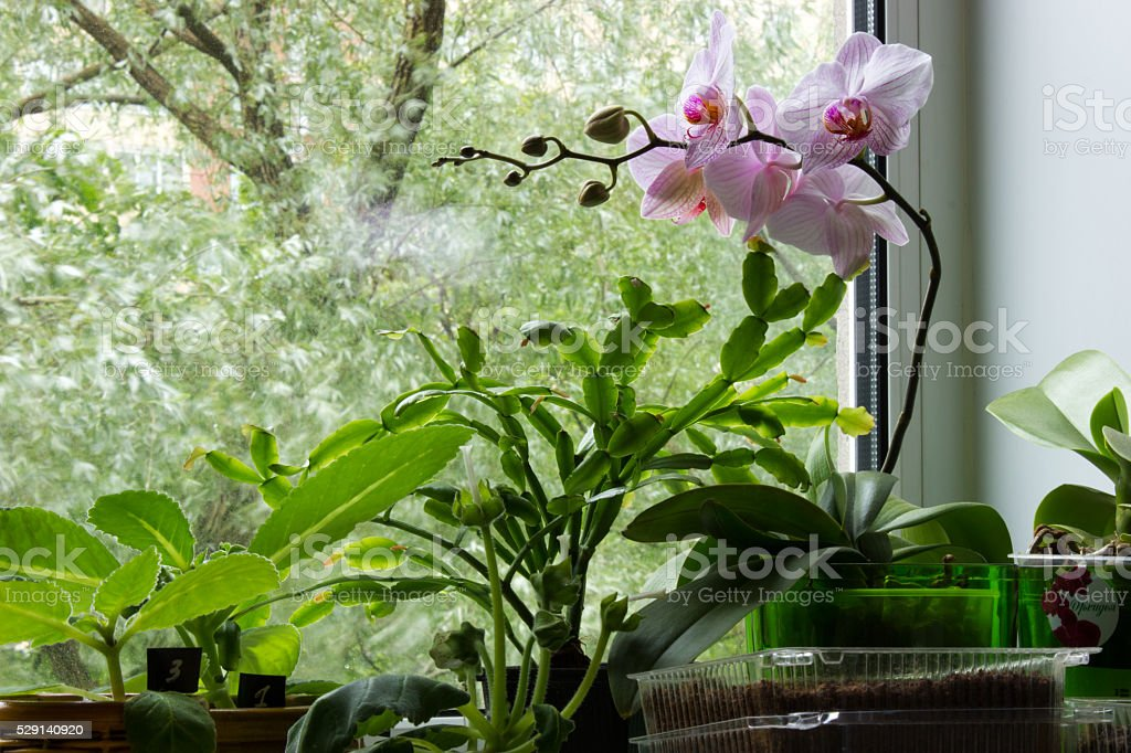 Floriculture on the windowsill stock photo