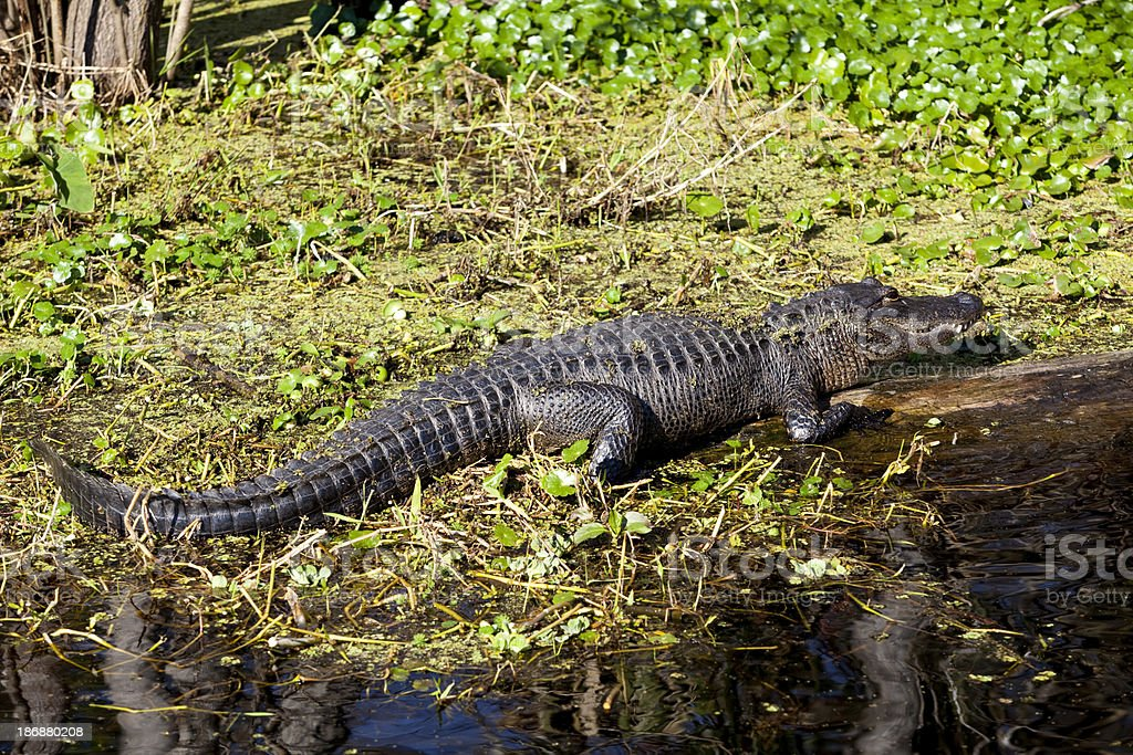 Florida Alligator royalty-free stock photo
