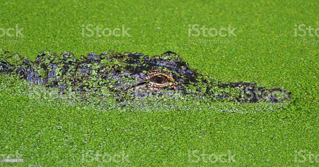 Florida Alligator stock photo