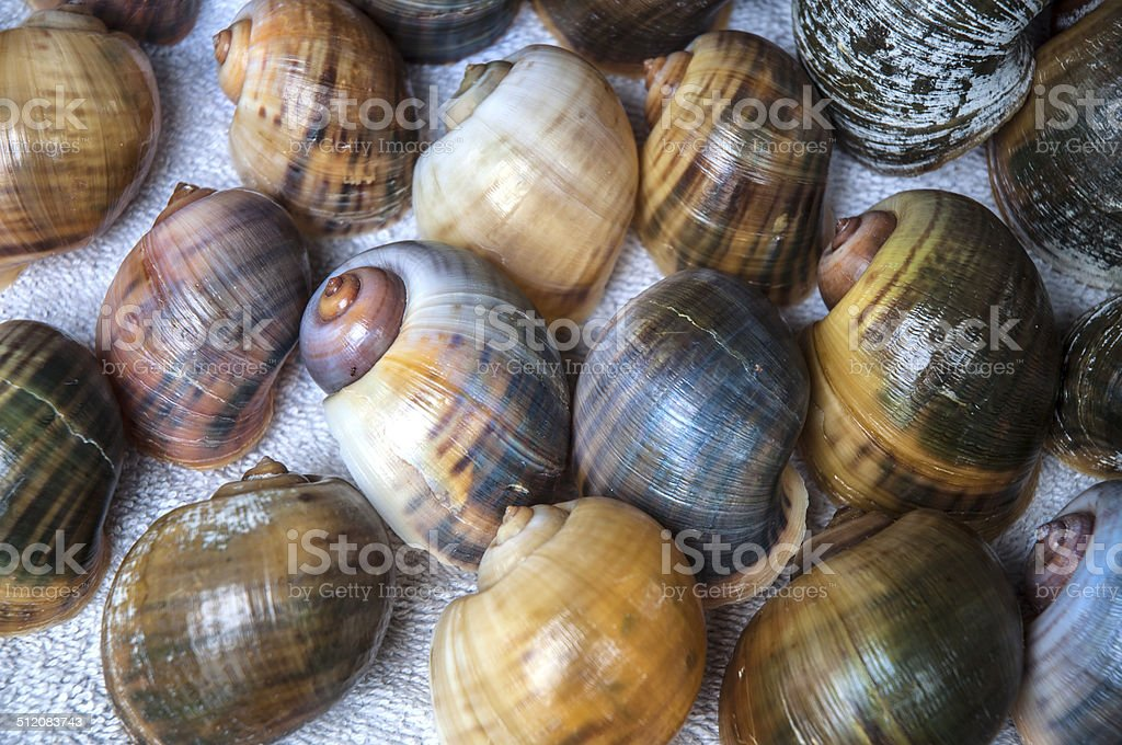 Florida Apple Snail Macro Grouping stock photo
