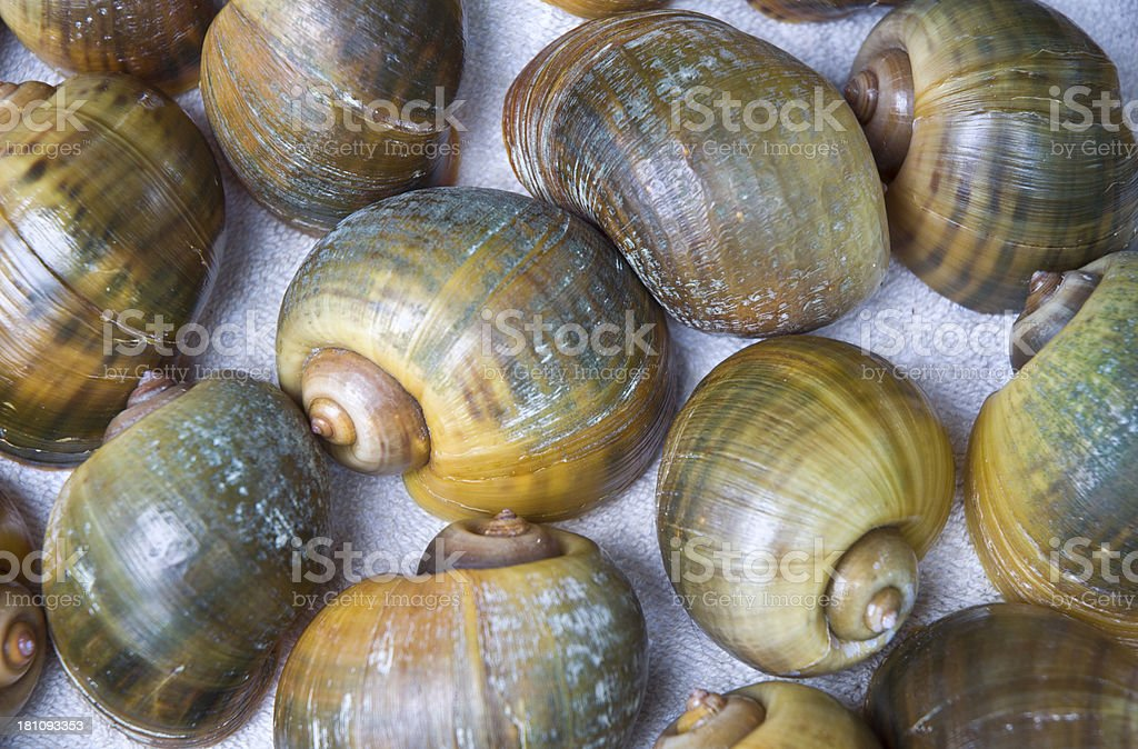 Florida Apple Snail Shells Macro Nautilus stock photo