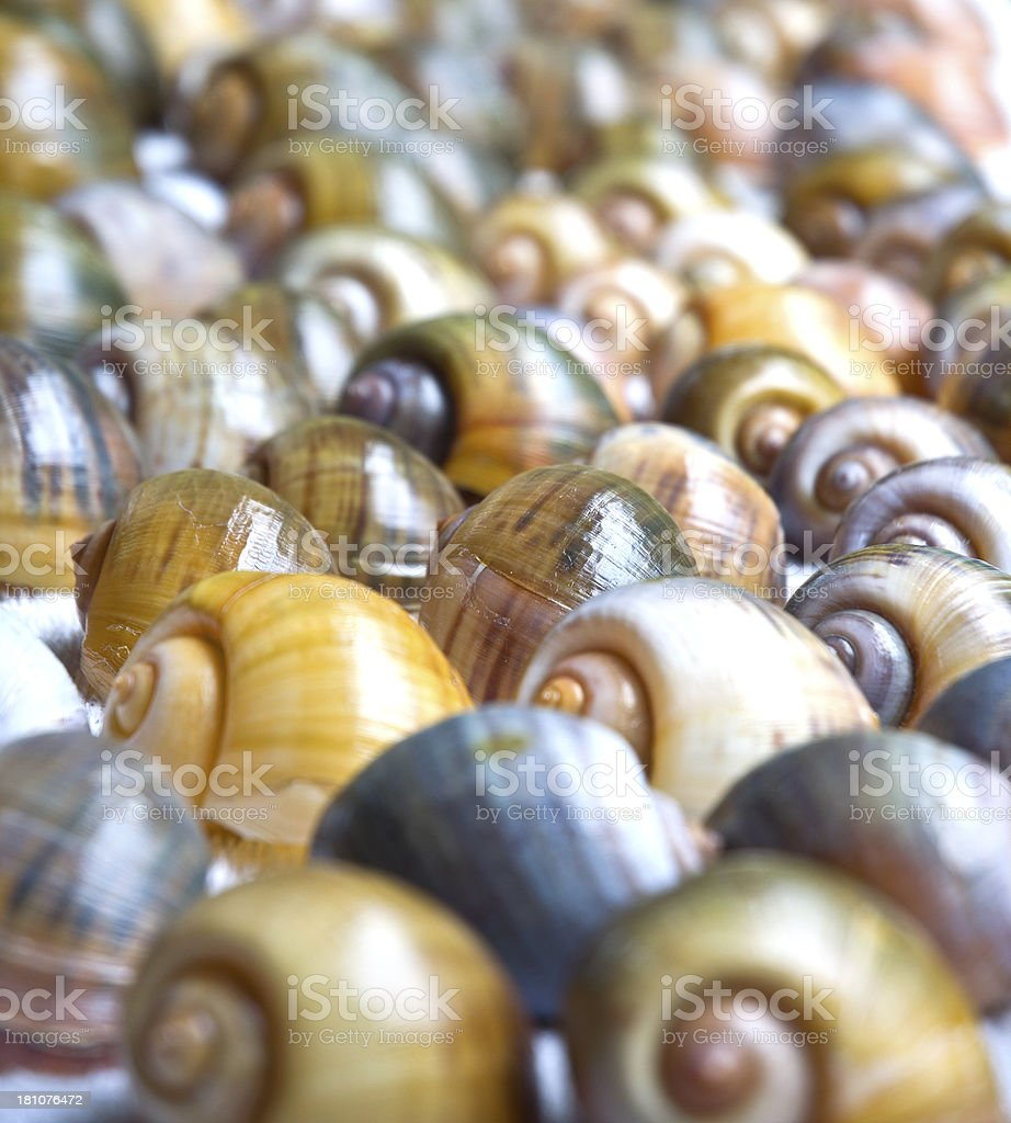 Florida Apple Snail Shells stock photo