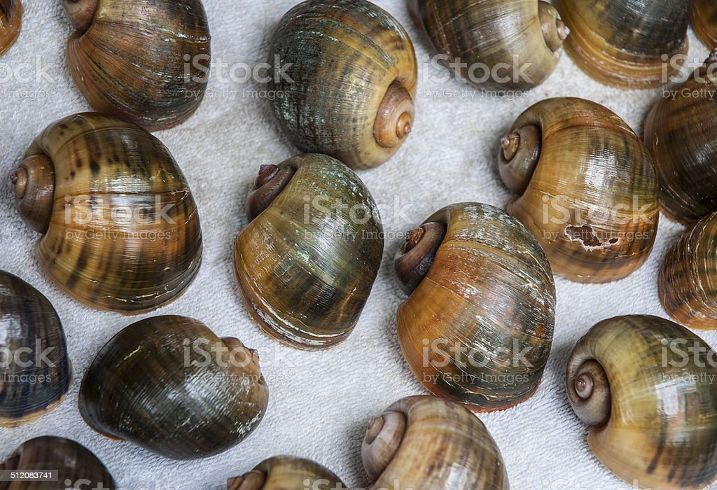 Florida Apple Snails Collection stock photo