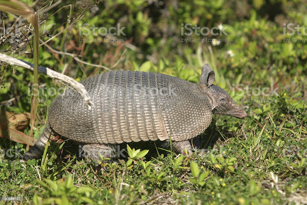 florida armadillo stock photo