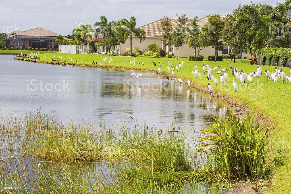 Snowy herons, a bird native to Florida, gather at a manmade lake in a...