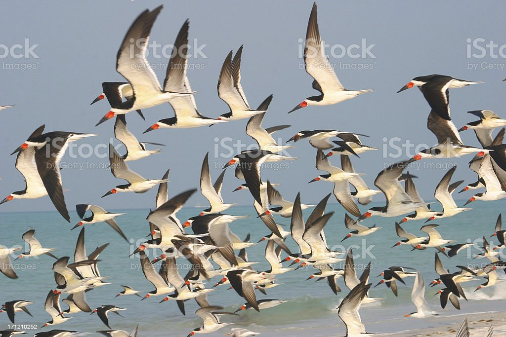 Florida Birds In Flight Anna Maria Island stock photo